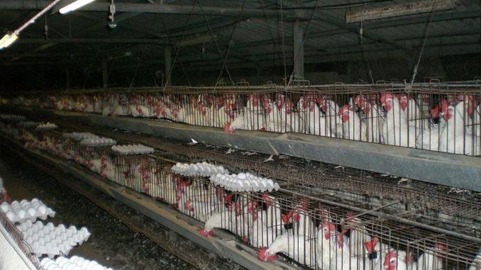 תרנגולות לביצים בלול סוללות מודרני, צילום: ויקימדיה