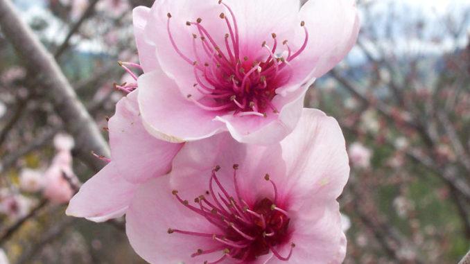 פרחי עץ האפרסק, צילום: ויקימדיה