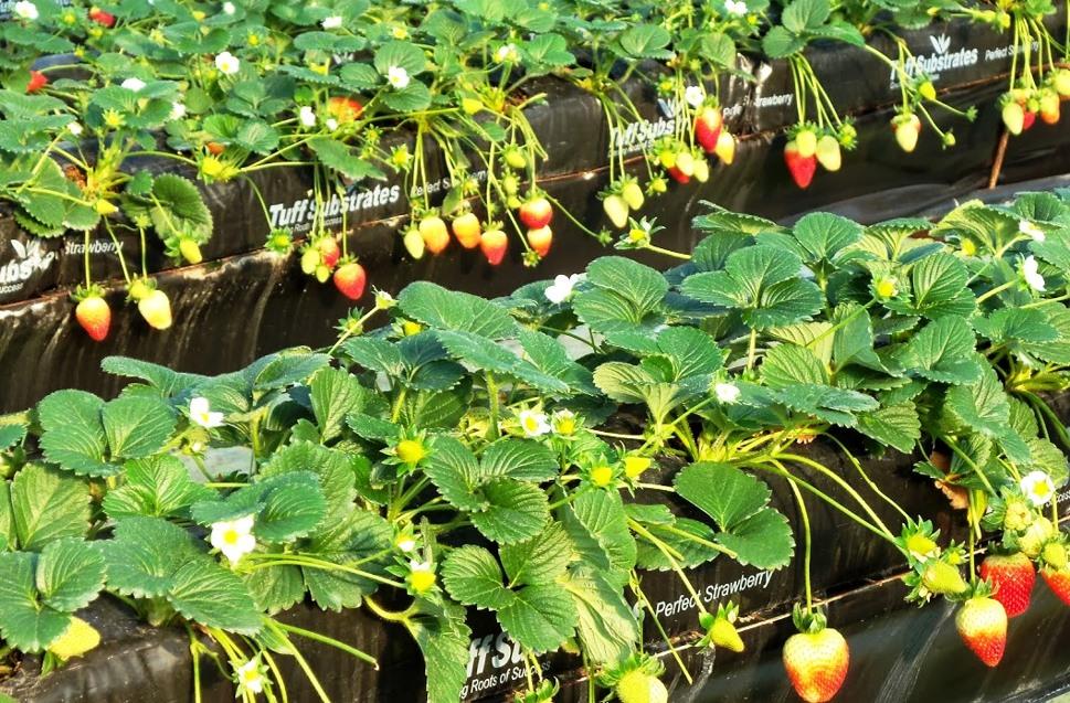 גידול תותים במצע מנותק שאינו מצריך ריסוס. צילום: טוף מרום גולן