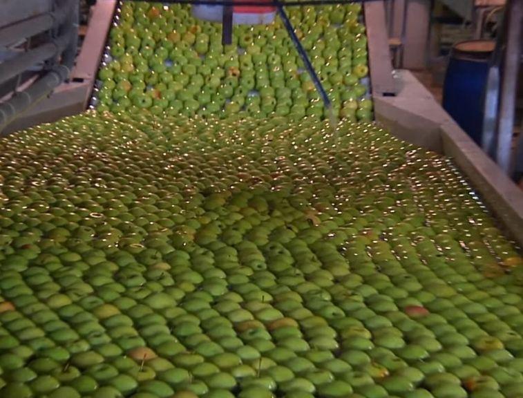 תפוחים בקו הייצור של טעמי הגליל. צילום מסך